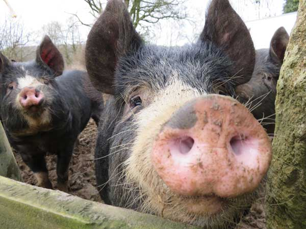 Close up of Berkshire weaner pigs taken on the introduction to smallholding training course at South Yeo Farm West