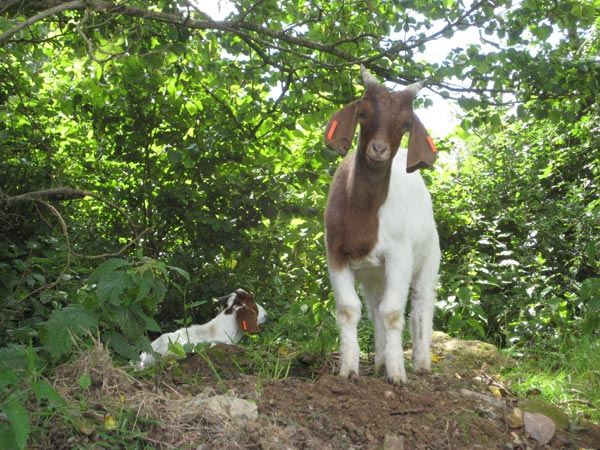 Boer goats during the fun smallholder training weekend at South Yeo Farm West in Devon