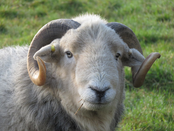 Close up headshot of a ram with horns.