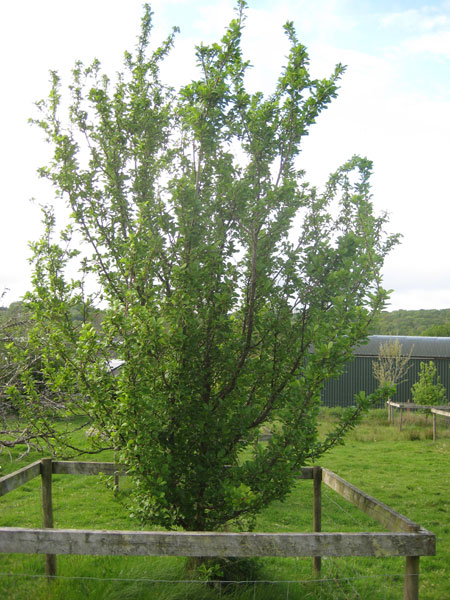 Apple tree in orchard at South Yeo Farm West