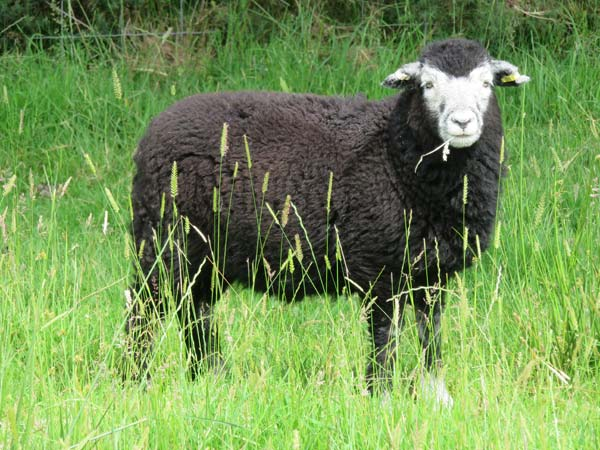 Herdwick lamb eating grass in a field on the Introduction to Sheep, Pigs and Cattle smallholder training course at South Yeo Farm West