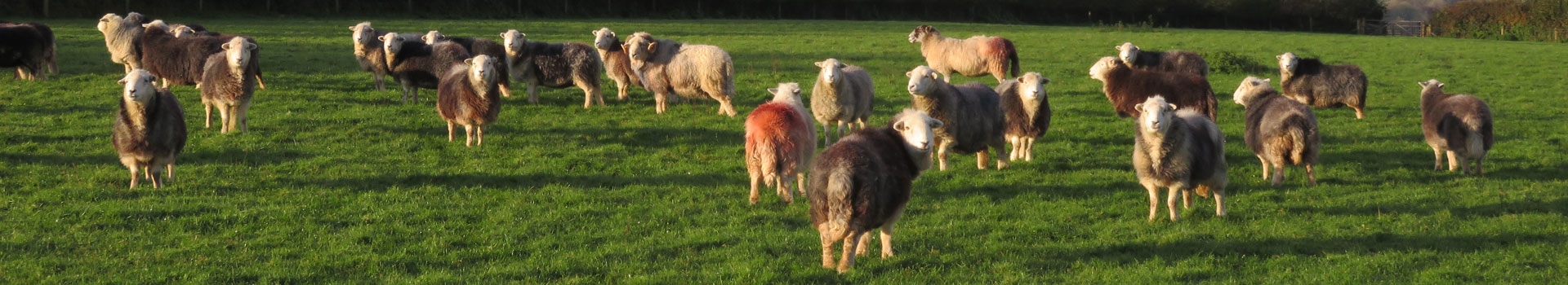 Field of Herdwick sheep at South Yeo Farm West