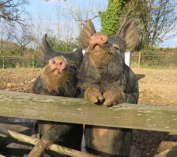 Two Berkshire pigs with their front trotters resting on the top of a gate