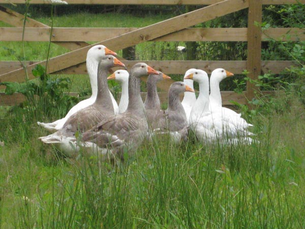 A family of pilgrim geese in a grass field at South Yeo Farm West
