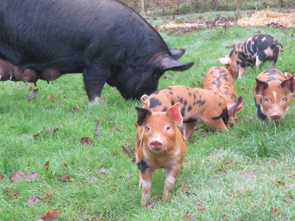 Poppy pig and Duroc piglets in a grass field on the advanced smallholding training course at South Yeo Farm West