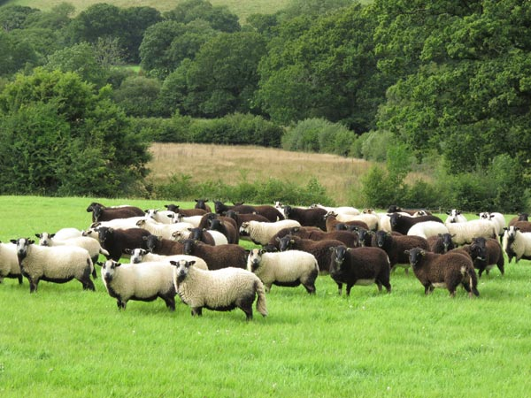 A field of badgerfaced sheep its a mix of Torddu and Torwen colours taken during a smallholder training course at South Yeo Farm West