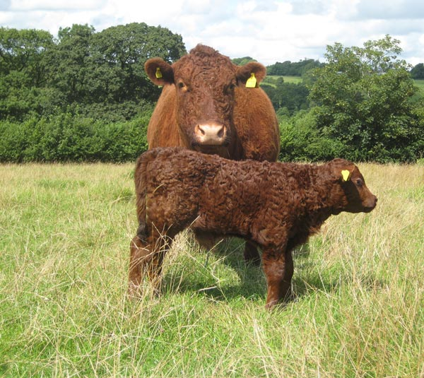 Devon Red Ruby cow and calf on the cattle for beginners course