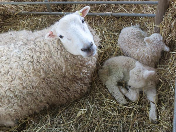 WhiteFaced Dartmoor ewe with twin lambs laying on straw in a lambing pen at South Yeo Farm West