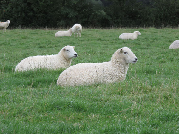 A field of Whitefaced Dartmoor shearlings at South Yeo Farm West in Devon