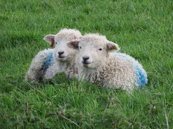 Two Whitefaced Dartmoor lambs laying together in a field during the Introduction to Smallholding training course weekend at South Yeo Farm West