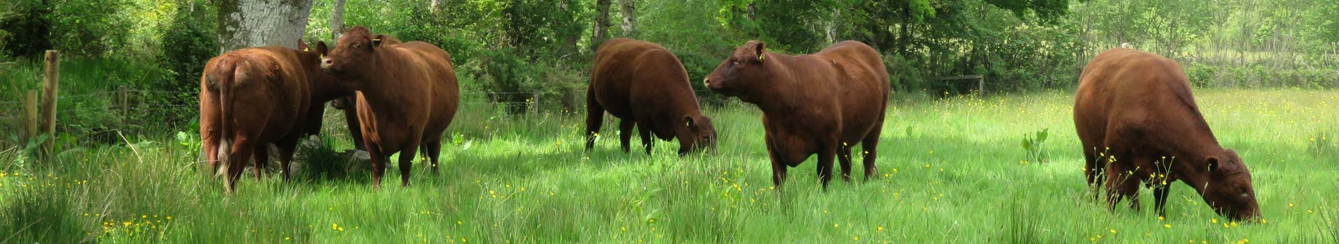 Red Ruby Devon cattle in a field during the cattle for beginners course by smallholder training at South Yeo Farm West