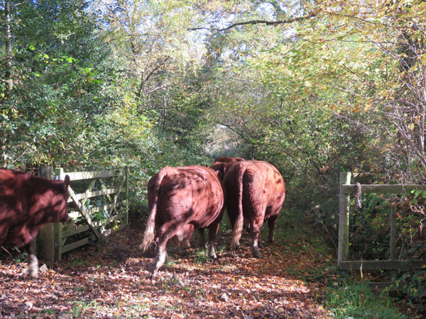 Devon red ruby cows walking down an autumnal lane in single file on the smlalholders training course, cattle for beginners at South Yeo Farm West