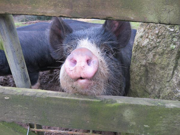 Close up of a Berkshire pig at South Yeo Farm West