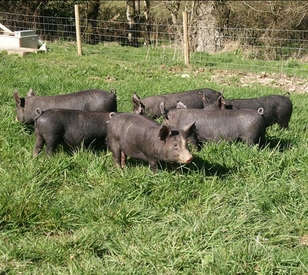 Six black piglets in a field taken on the Introduction to Smallholding training course weekend