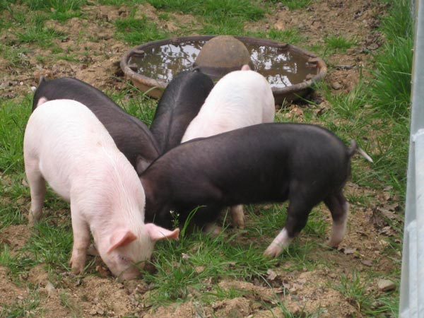 3 black and two pink piglets during the introduction to sheep, pigs and cattle smallholder training course at South Yeo Farm West