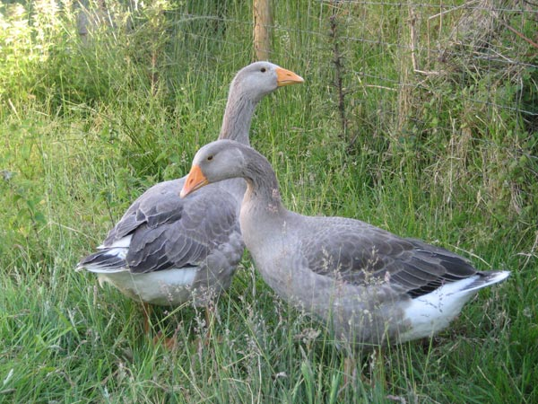 Two pilgrim geese in a field at South Yeo Farm West, Devon
