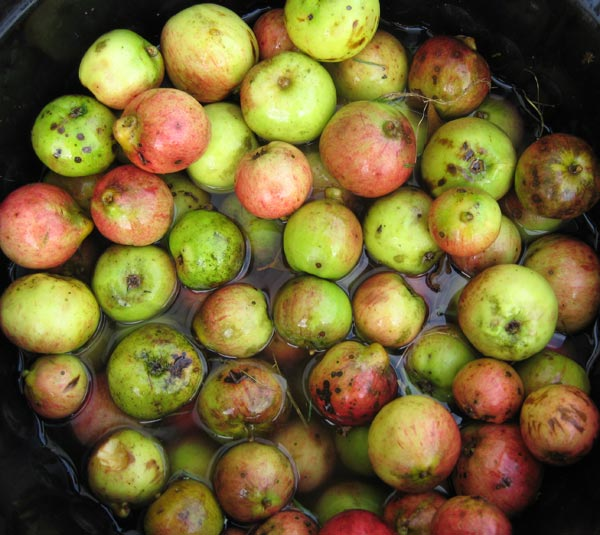 Washing apples before processing on the Apple and Cider day smallholder training course